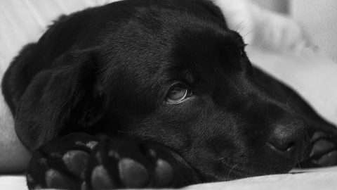 labrador-puppy-sick