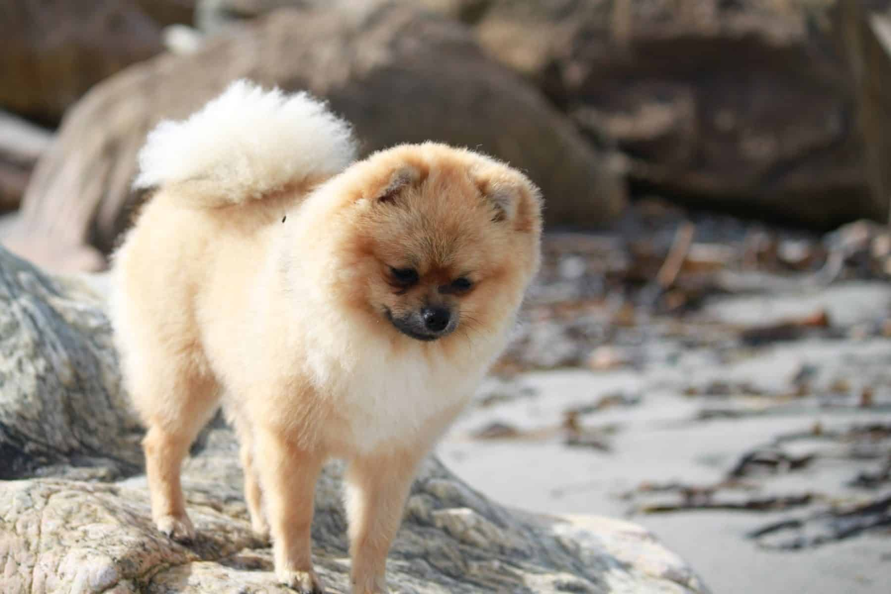 The Top 11 Pomeranian Haircut Styles for 11  The Dog People by