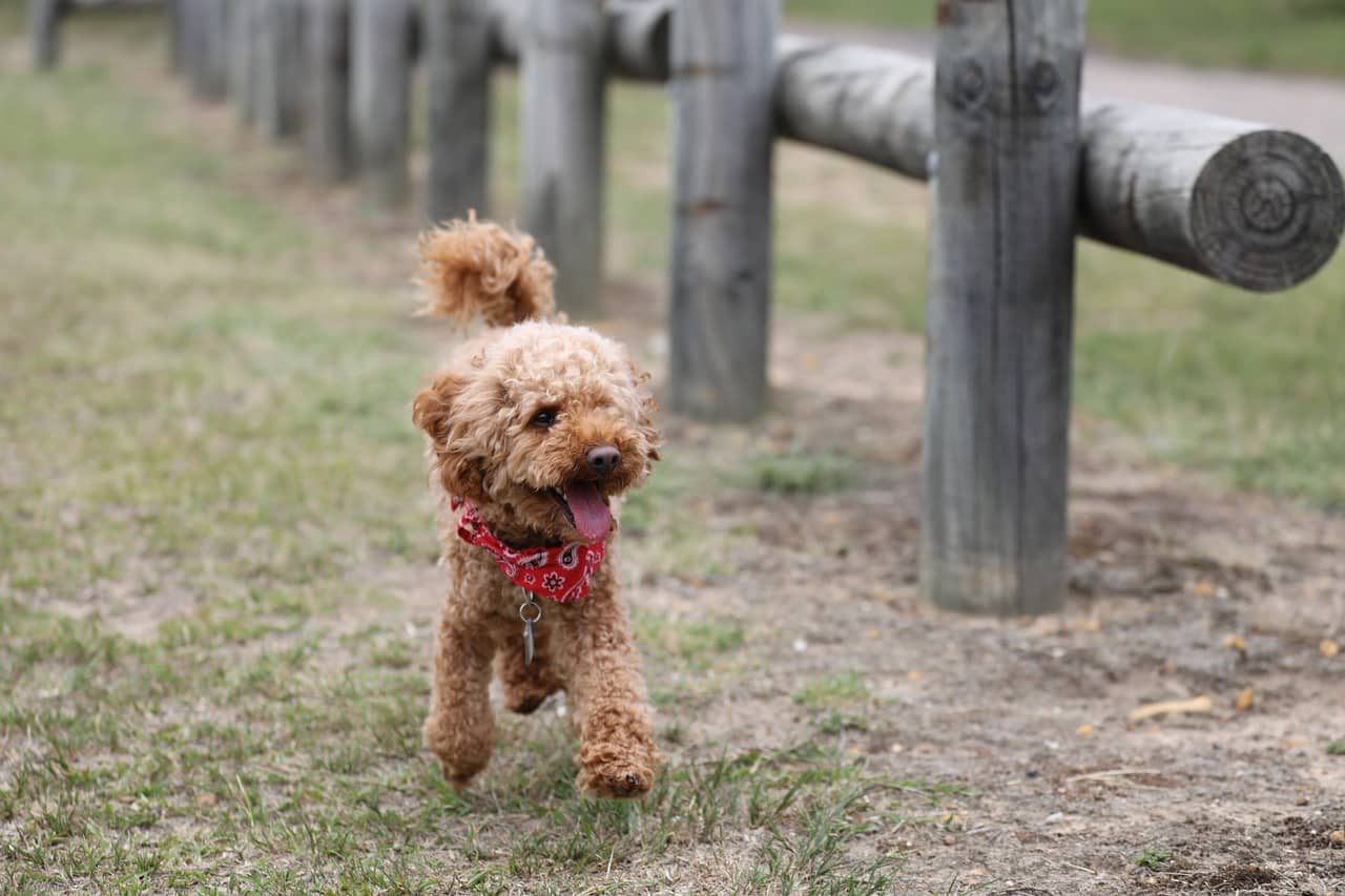 5 Top Poodle Haircut Styles For 2019 The Dog People By Rover Com