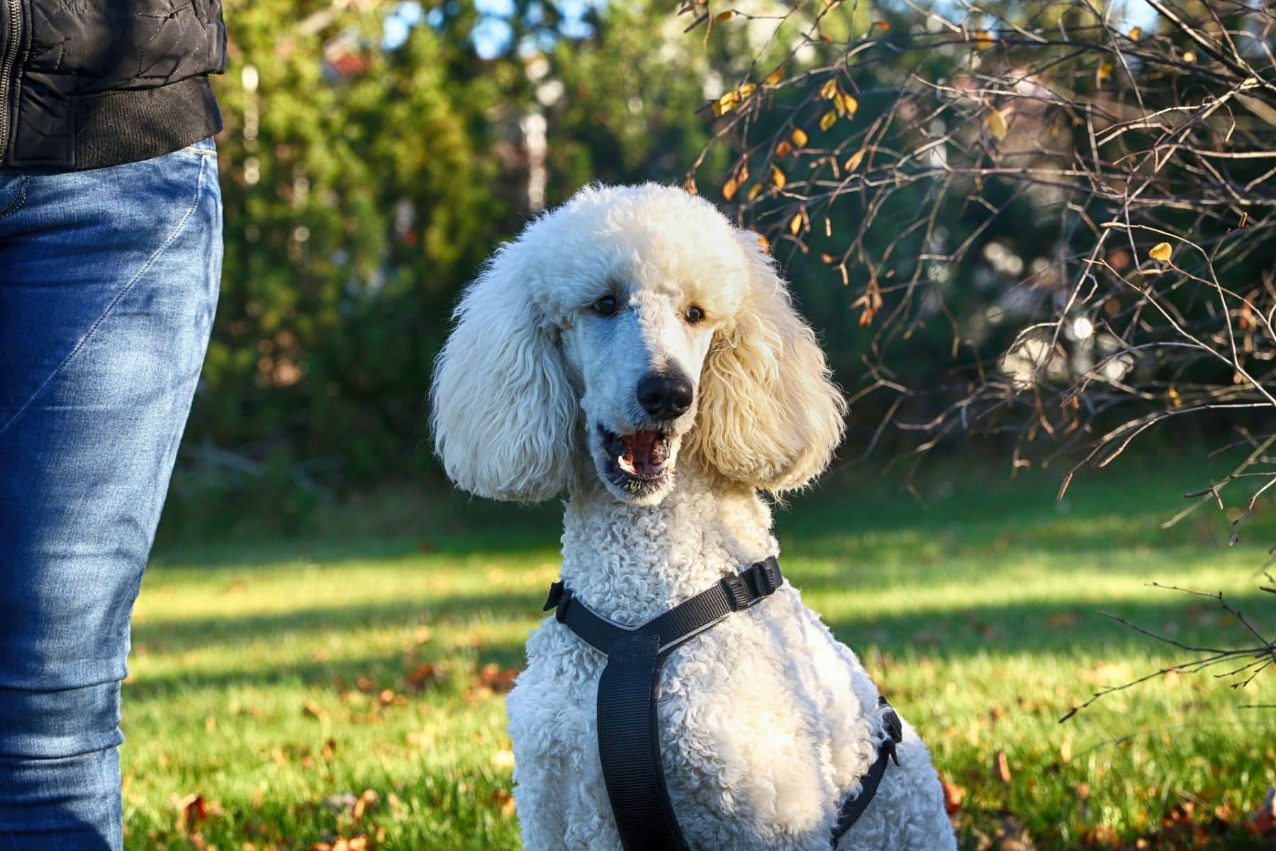 5 Top Poodle Haircut Styles For 2020