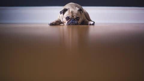 pug_not_feeling_well