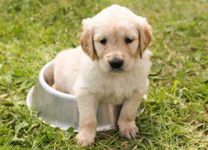 puppy food, puppy sitting in bowl