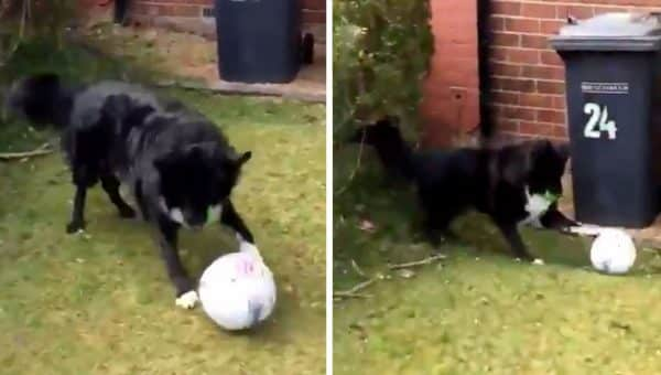 Scottish Dog Won't Let Mailman Leave Without Playing Soccer