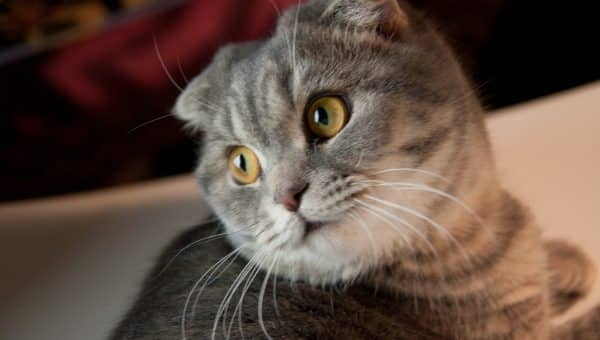 The 8 Smartest Cat Breeds You Need to Know