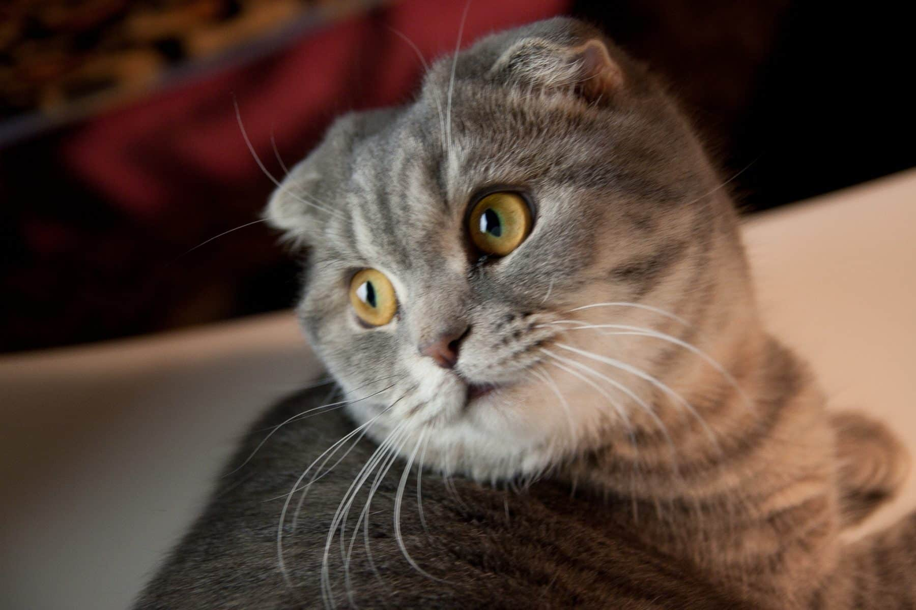 The 8 Smartest Cat Breeds You Need to Know | The Dog People