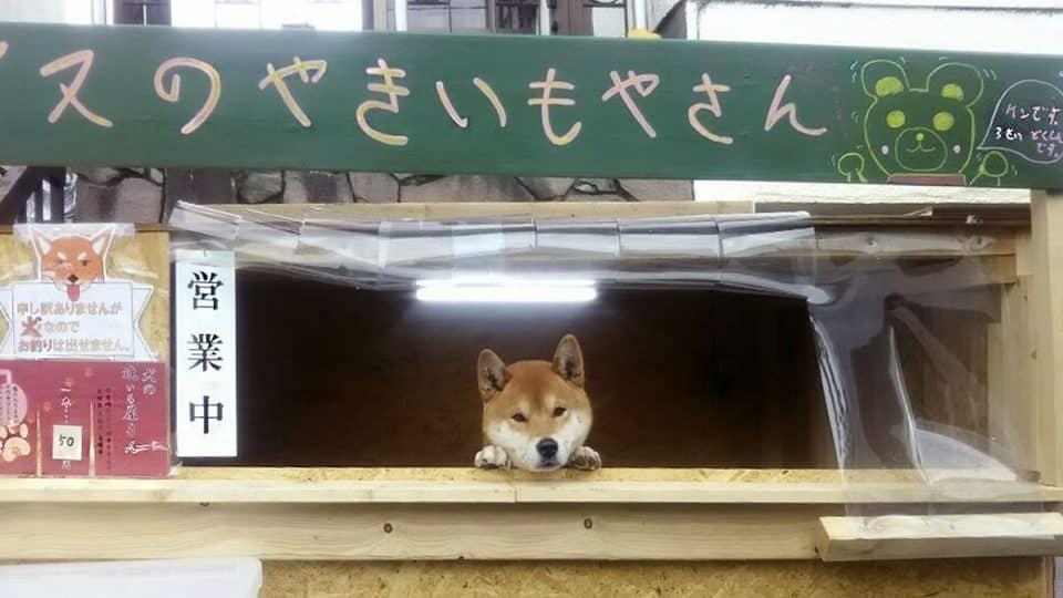 shiba inu runs his own potato stand