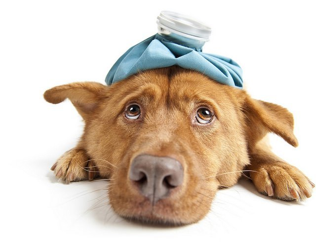 9 Potentially Deadly And Preventable Dog Diseases The Dog People By Rover Com