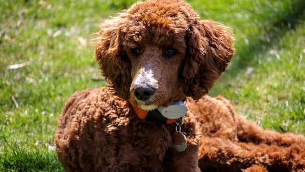5 Top Poodle Haircut Styles for 2019