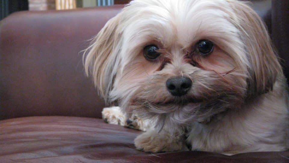 The Top 3 Yorkiepoo Haircut Styles For 2019 The Dog People By