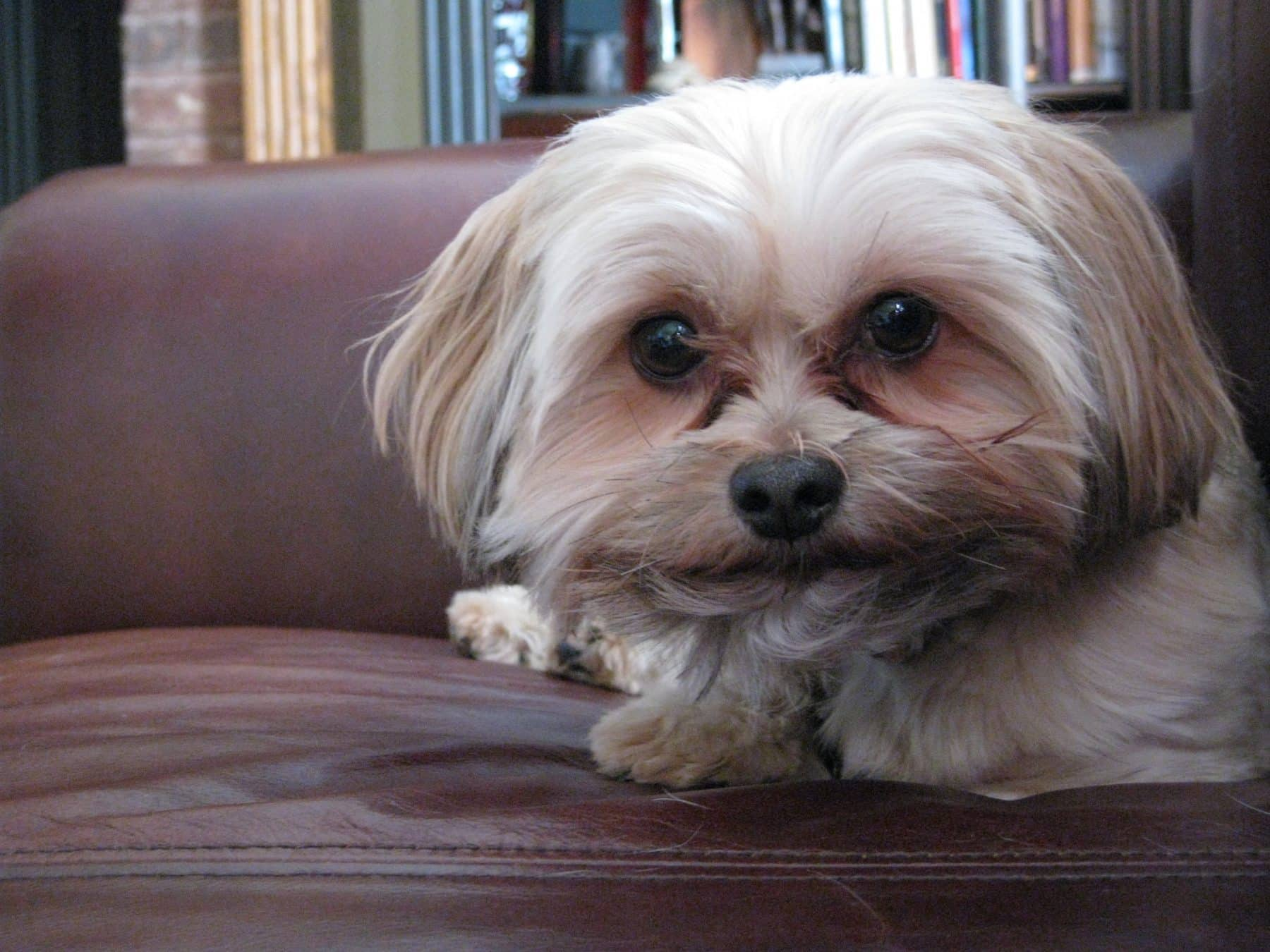 The Top 3 Yorkiepoo Haircut Styles For 2019 The Dog People By Rover Com