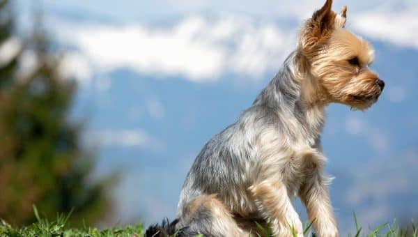 The 12 Best Foods for Yorkshire Terriers
