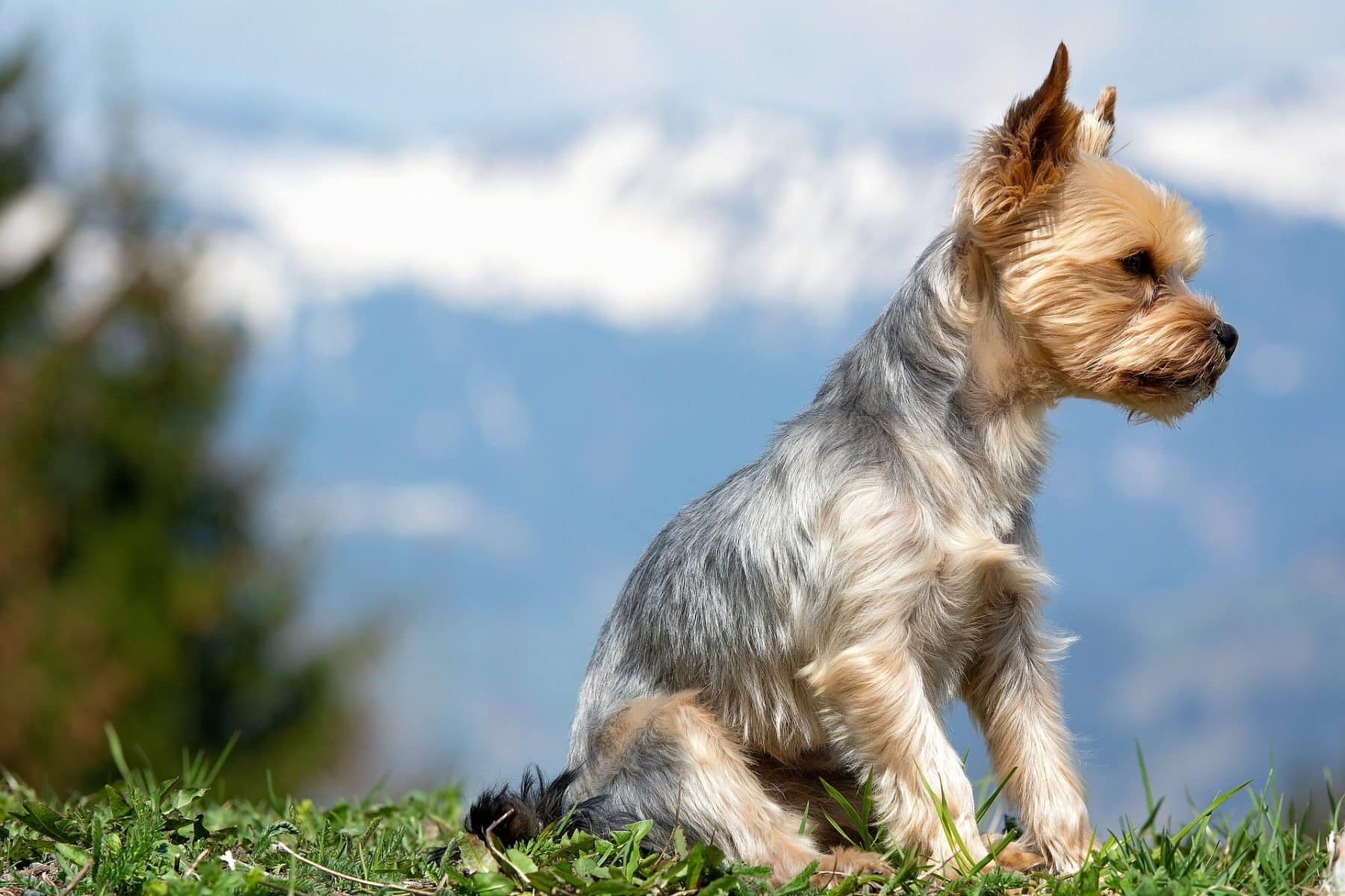 Top 5 Yorkie Haircut Styles For 2019 The Dog People By Rover Com