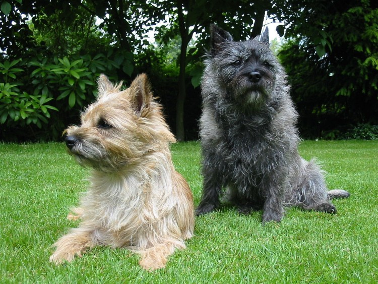 Terrier dogs small breeds