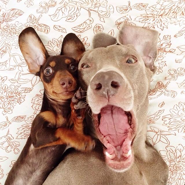 pablo picasso chien teckel
