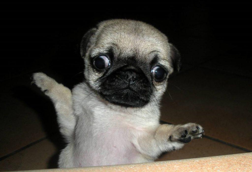 pug derp puppy
