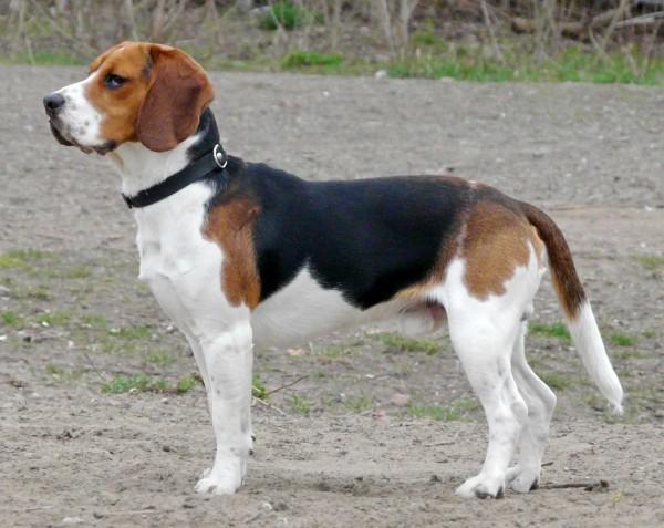 Beagle dog standing profile