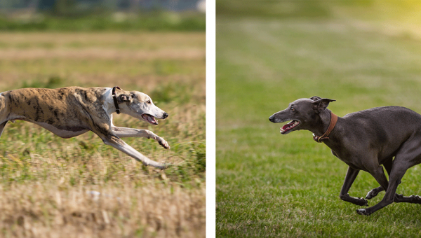 Greyhound Vs Whippet – What's The Difference?