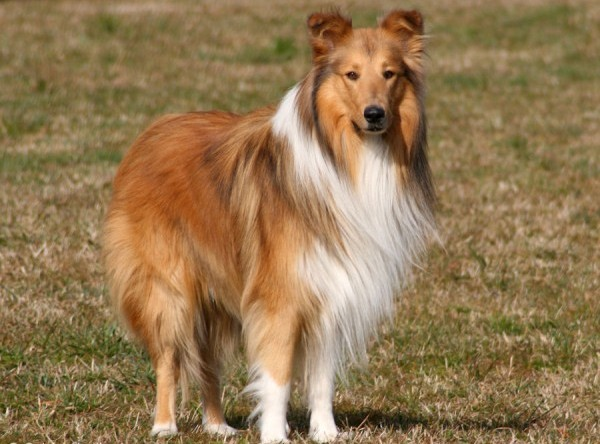 Collie dog standing in a sunny field
