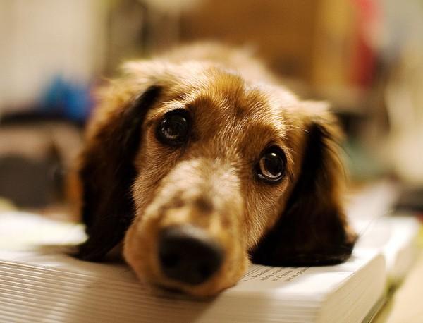 Wursthund süßes Gesicht