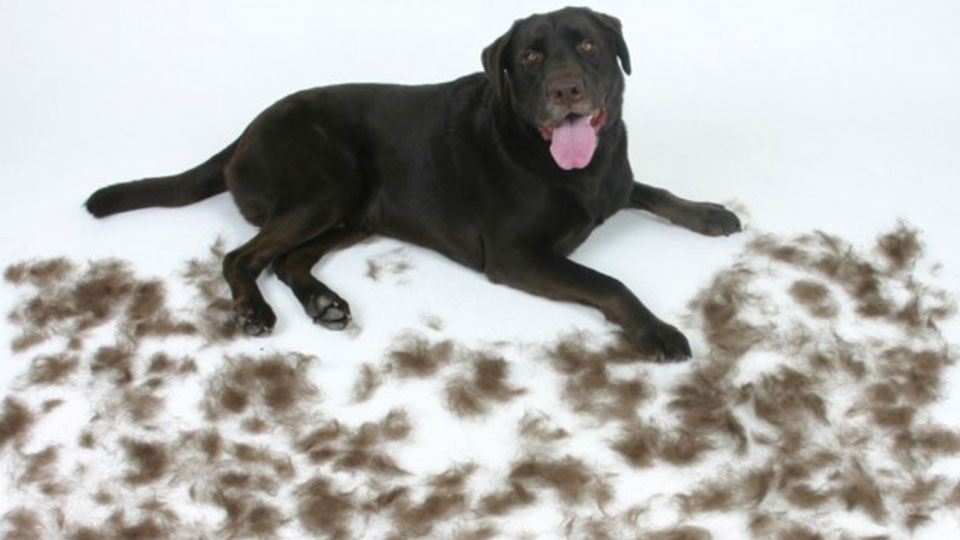 Labrador Retriever Heavily Fur Shedding Breed of Dog lying on the floor surrounded by dog fur