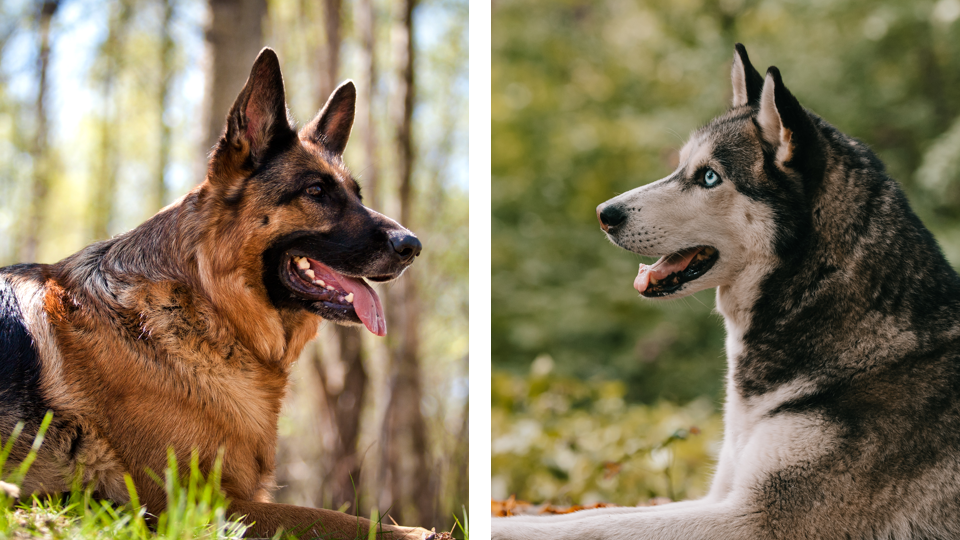 Siberian Husky vs German Shepherd—What's The Difference?