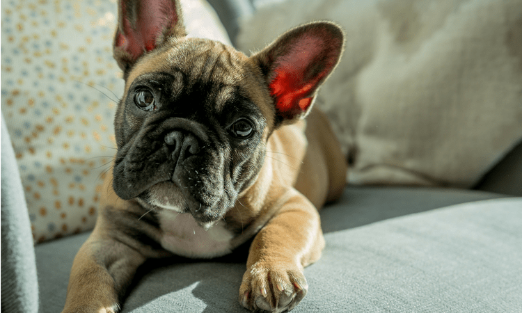 Boston Terrier vs French Bulldog—What's the Difference?
