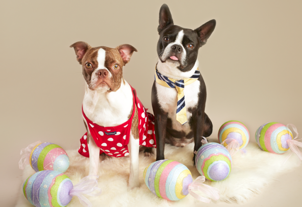 Black and white french bulldog and brown and white french bulldog sitting on a fur thow surrounded by easter eggs