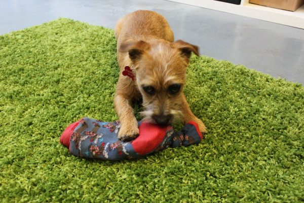 Rosie the puppy Border Terrier with her homemade dog toy