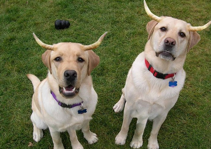 Labrador retrievers with devil horns