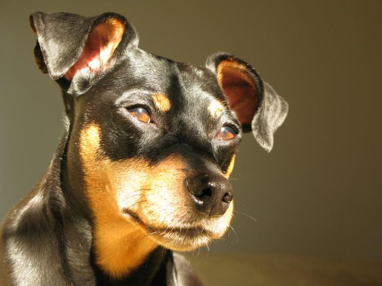 Miniature Pinscher small dog breed
