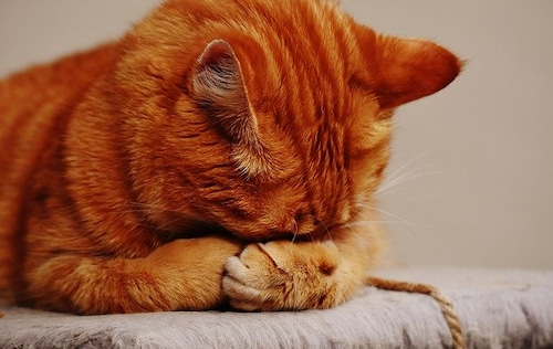 orange cat with head in paws