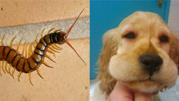 AVISO: Las escolopendras son peligrosas para los perros