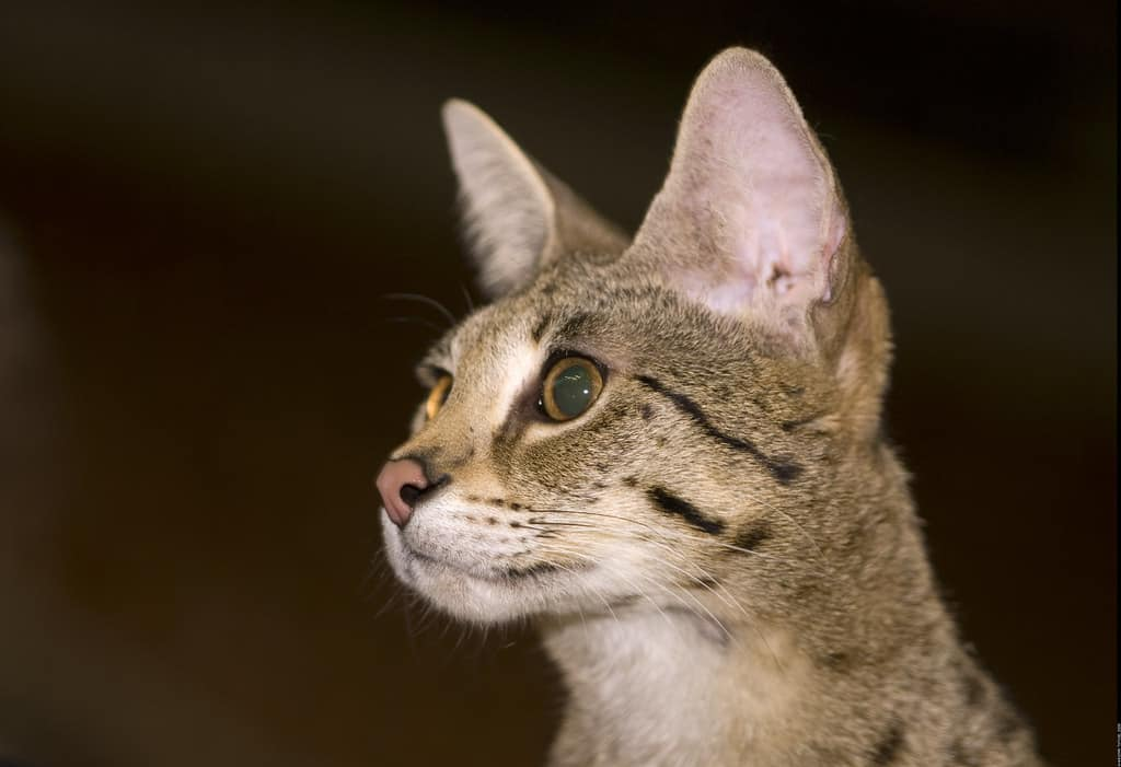 10 Surprising Facts About Savannah Cats | The Dog People by