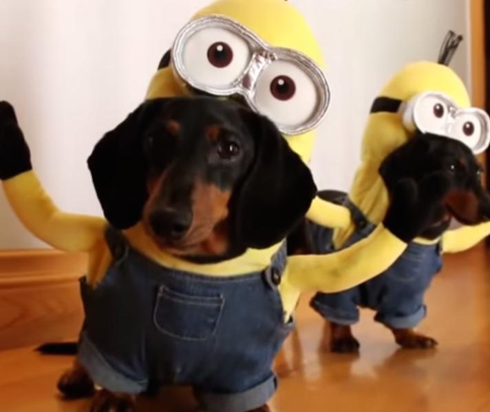 chiens teckel minions