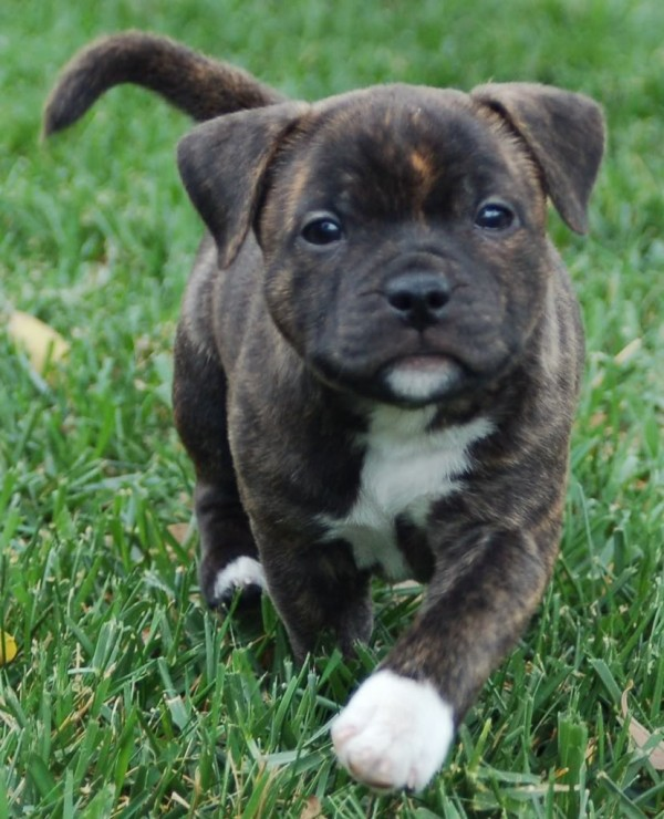 Staffordshire Bull Terrier Brindle Puppy in a field one of the top dogs for kids
