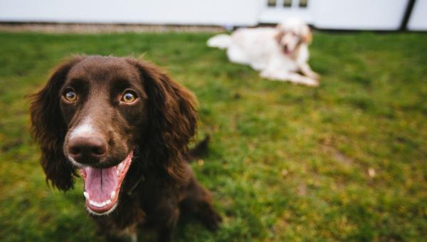 Grundläggande träning för vuxna hundar