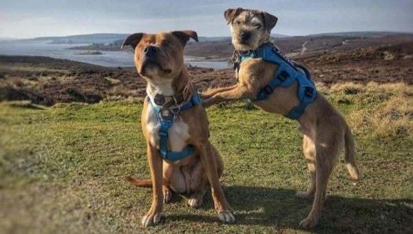 Blind Staffie and His BFF Guide Dog Are Taking the World by Storm