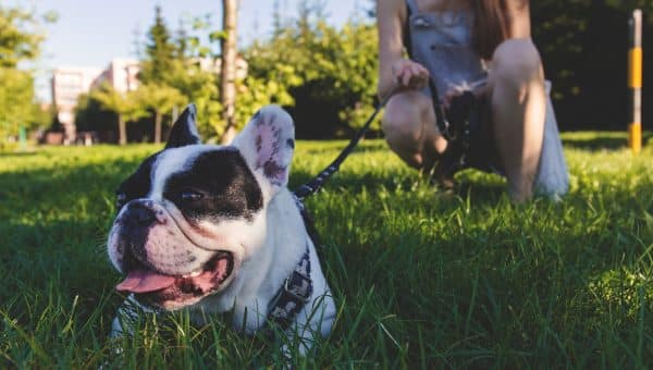 White french bulldog on leash lying in the grass