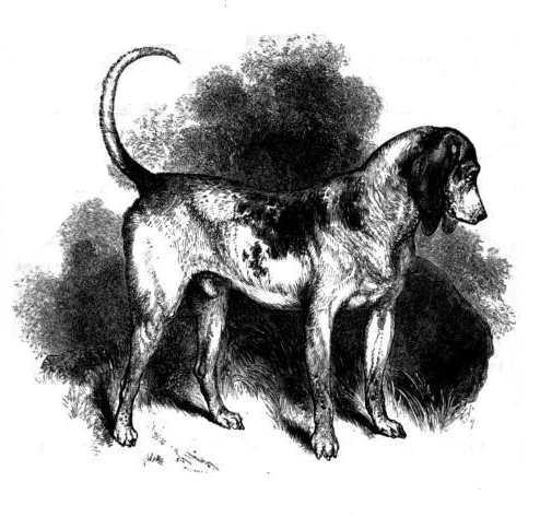 Ausgestorbene-Hunderassen - Southern Hound