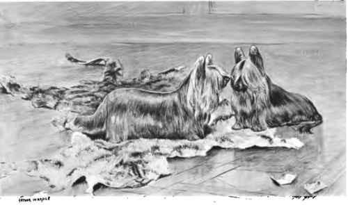 Ausgestorbene Hunderassen - Paisley Terrier