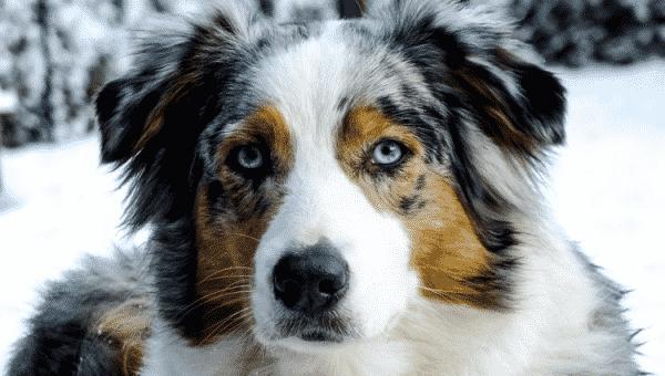 Lär känna: Australian shepherd