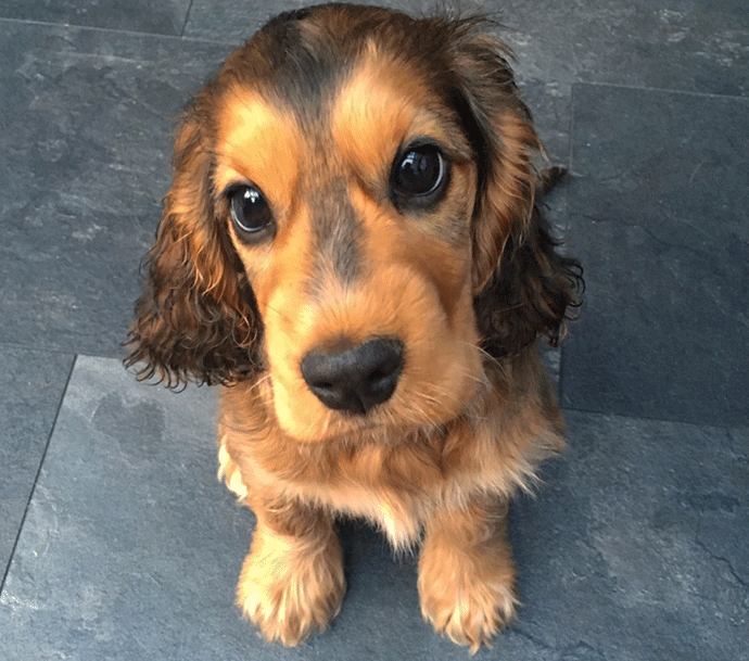 19 Reasons You Should Never Trust A Cocker Spaniel