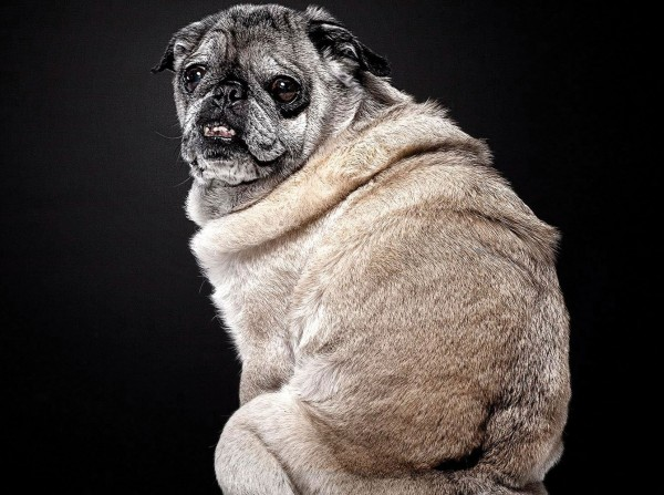 beautiful-old-dogs-pug for what to do if a dog won't stop shaking dogbuddy blog article