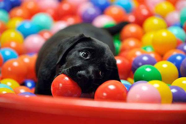 cane con pelo nero gioca dentro una piscina di palline di tutti i colori