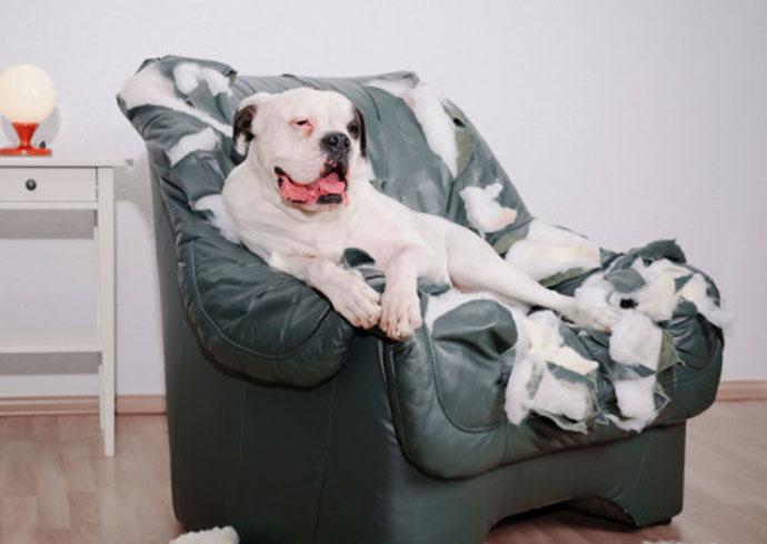 caracteristicas-de-un-buen-cuidador-pit-bull-sentado-sobre-un-sillon-destrozado