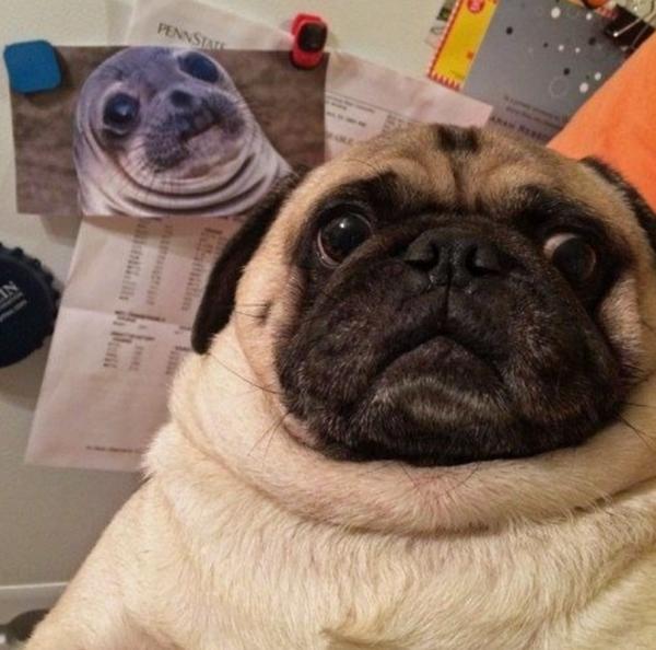 un carlino y la foto de una foca