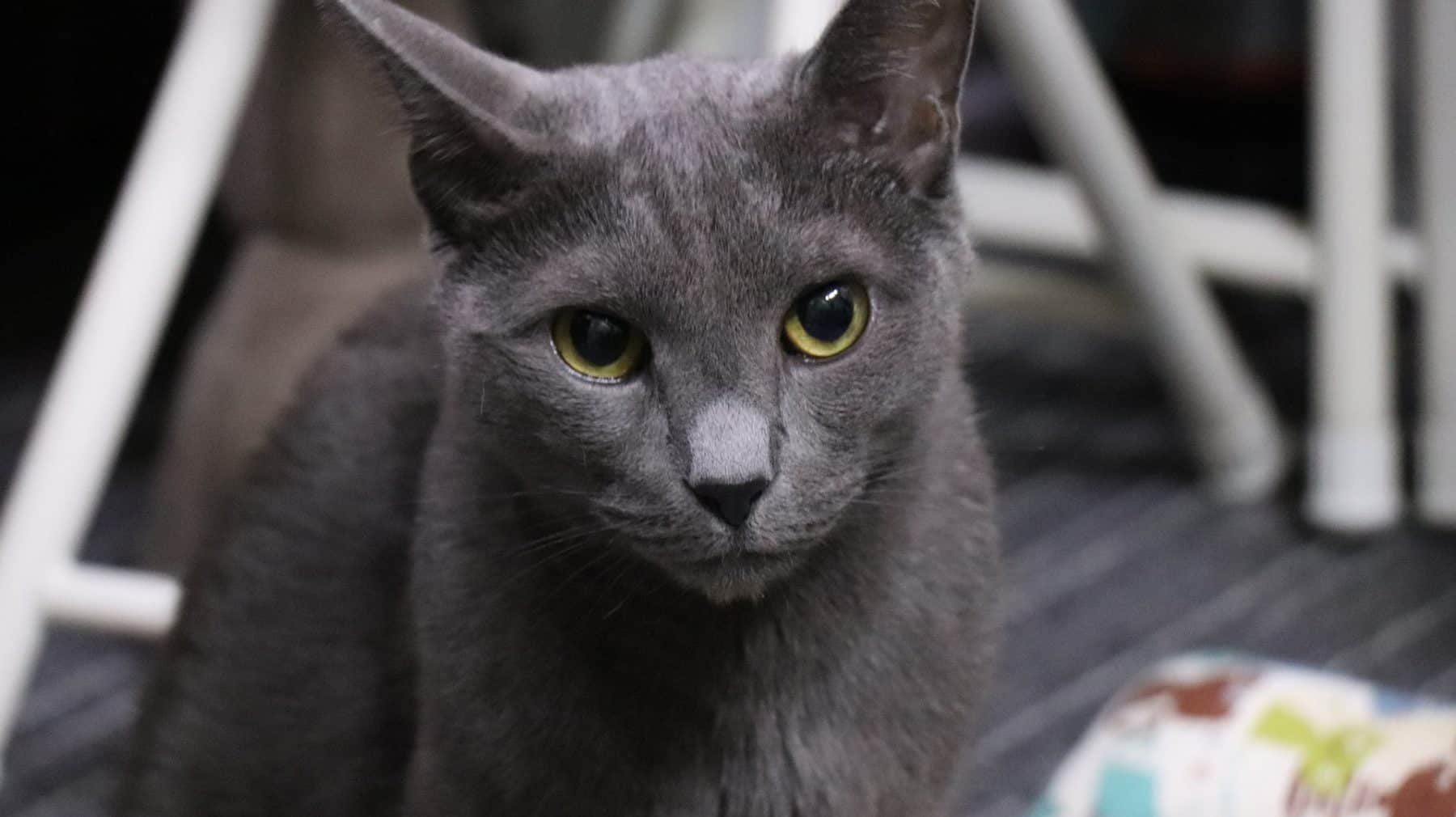 Russian Blue Kittens Your Complete Guide The Dog People