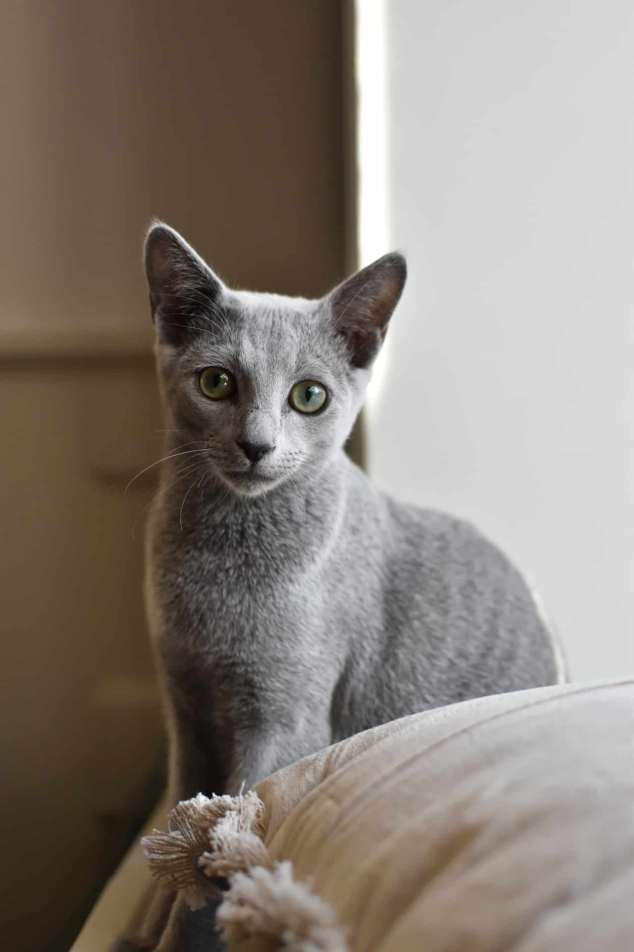Russian Blue Kittens Your Complete Guide The Dog People By Rover Com