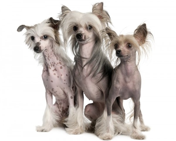 Three Chinese Crested Dogs sitting down they shed little fur