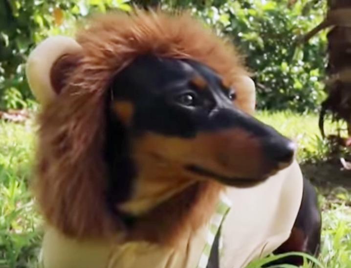 Dackel als Löwe verkleidet